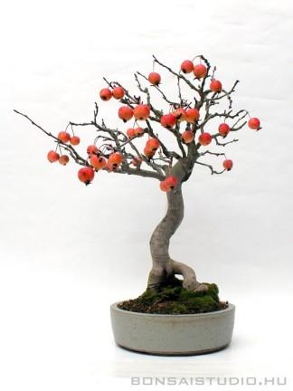 Malus halliana bonsai mázas  japán bonsai tálban 02.
