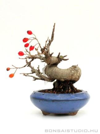 Photinia villosa shohin bonsai 01.
