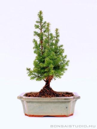 Chamaecyparis sp. bonsai 01.