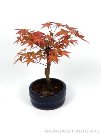 Japán juhar bonsai kerek tálban 02.
