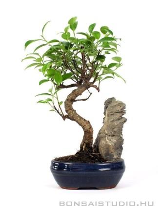 Ficus retusa beltéri bonsai hajlított törzzsel és kővel 01.