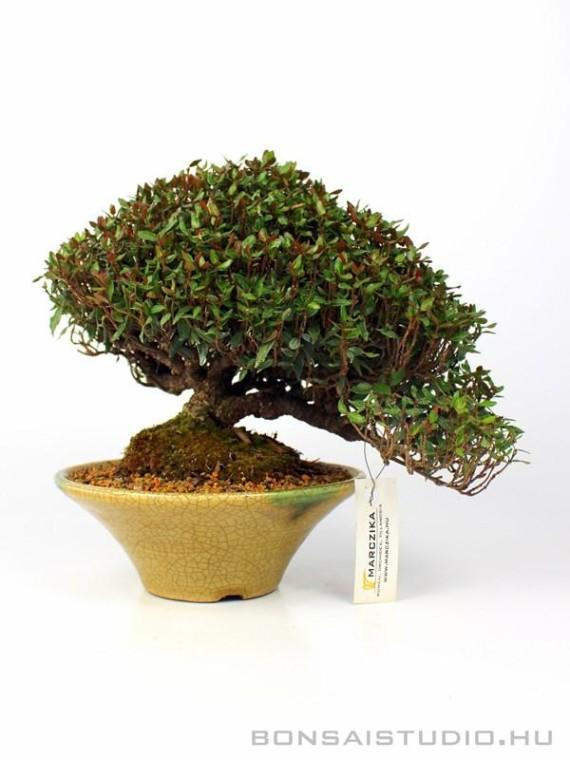 Cirimen kazura shohin bonsai 01.