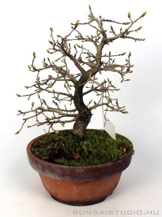 Carpinus coreana shoihn bonsai 18.