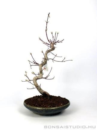 Acer palmatum - Japán juhar bonsai 28.