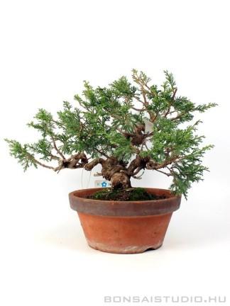 Boróka pre bonsai - Juniperus chinensis 'Itoigawa' 1.