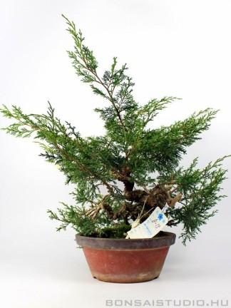 Boróka pre bonsai - Juniperus chinensis 'Itoigawa' 3.