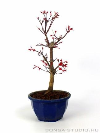 Japán juhar bonsai alapanyag - Acer palmatum 'Deshojo' 03.