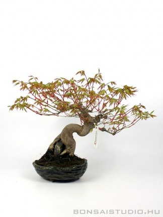 Acer palmatum - Japanese maple bonsai 30.