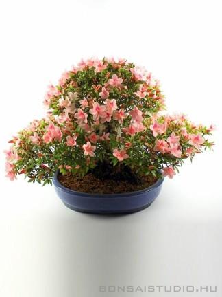 Rózsaszín virágú Satsuki azálea bonsai - Rhododendron indicum sp.
