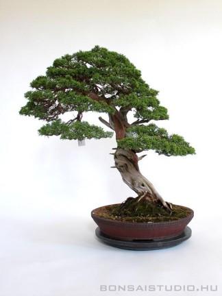 Juniperus chinensis 'Itoigawa' bonsai mázatlan tálban