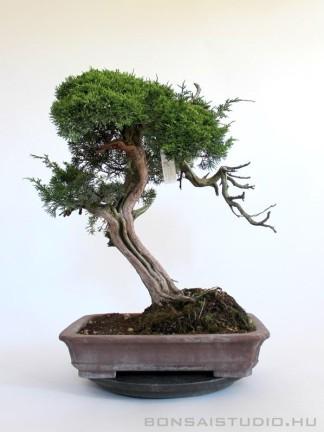 Juniperus chinensis - boróka bonsai előanyag 06.