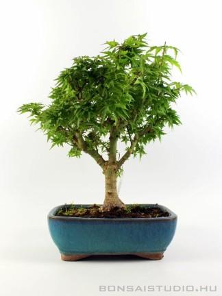 Acer palmatum 'Kotohime' - Japán juhar bonsai 01.