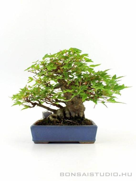 Acer buergerianum - Háromerű juhar shohin bonsai 01.
