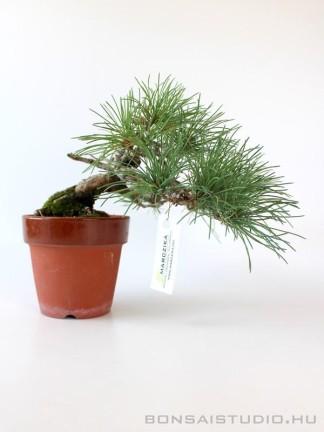 Goyomatsu shohin - Pinus parviflora bonsai 11.