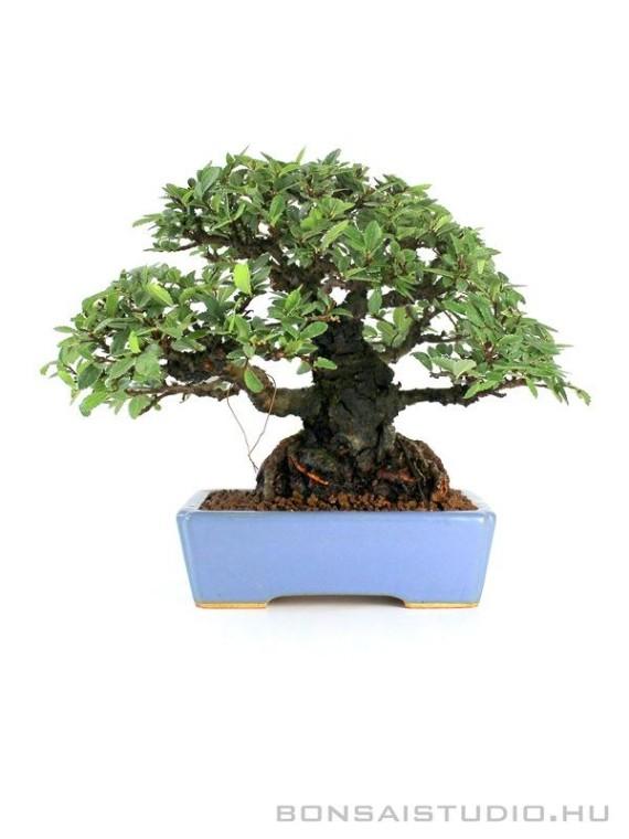 Ulmus parvifolia 'Corticosa' shohin bonsai Hattori tálban