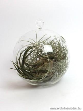 Tillandsia seleriana üveggömbben