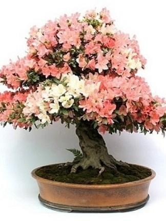Virágzó bonsaiok