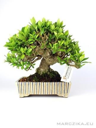 Shohin Gardenia bonsai moyogi stílusban 01. - Kuchinashi