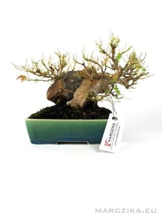 Acer buergerianum - Háromerű juhar shohin bonsai 02.