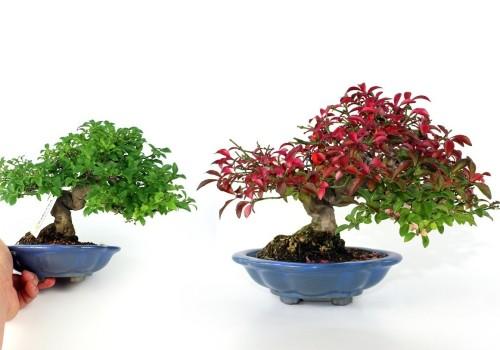 Szép mint mindig én nekem - egy őszi shohin bonsai pirosban