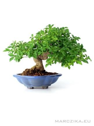 Euonymus alatus shohin bonsai moyogi stílusú törzzsel
