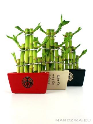 Lucky bamboo mix - 3 db egyben