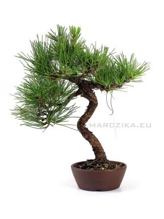 Kuromatsu - Japán shohin bonsai alapanyag bunjin stílusban