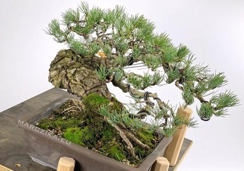 Egy fenyő bonsai alapanyag esete a drótokkal - Goyomatsu a házban!