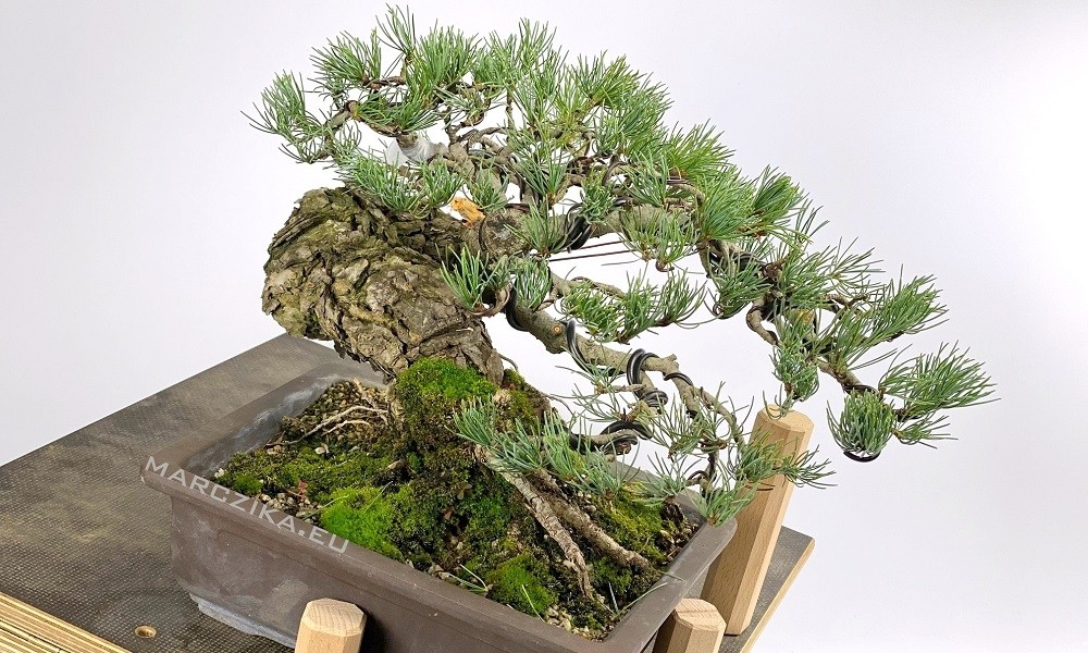 Marczika Kft. - Case of a pine bonsai material with wires ... on wiring bonsai step by step, trim juniper bonsai, hollywood juniper bonsai, shaping juniper bonsai, chinese juniper bonsai, shimpaku juniper bonsai, wiring rosemary bonsai, starting juniper bonsai,