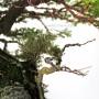 Picea jezoensis - japán bonsai ibigawa kövön