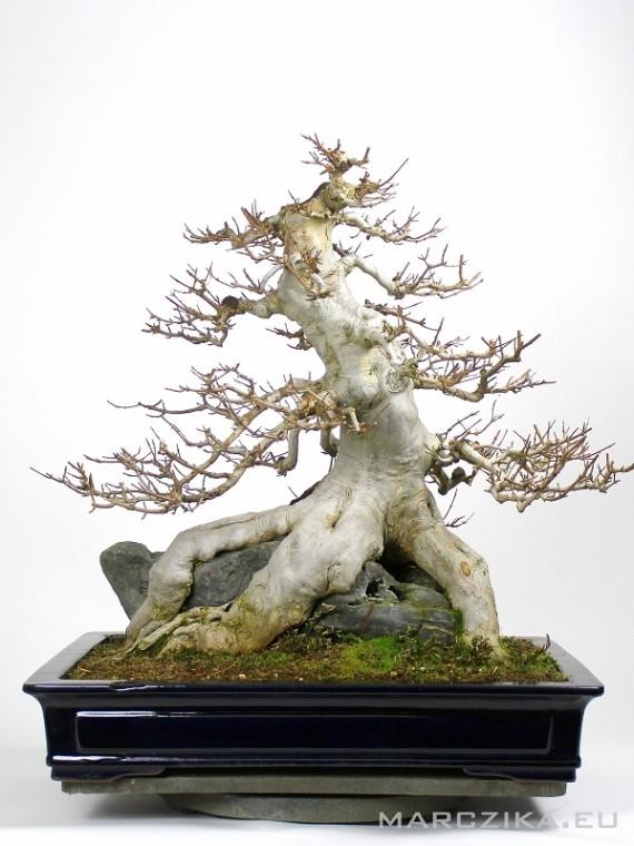 Acer buergerianum - sekijoju Kaede bonsai