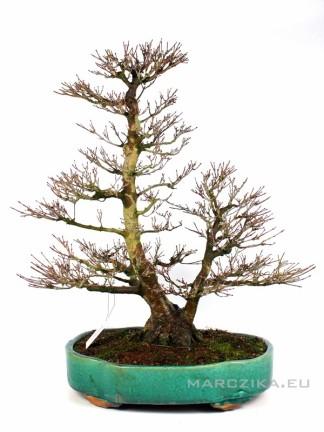 Acer palmatum - Japán juhar bonsai dupla törzzsel