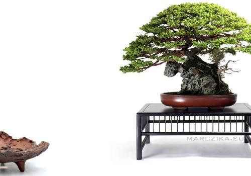 Mi az, hogy Ezo matsu és mi az, hogy ibigawa? - Gondolatok egy különleges Japán bonsairól