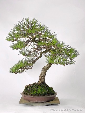Bunjin stílusú Pinus thunbergii bonsai - Kuromatsu