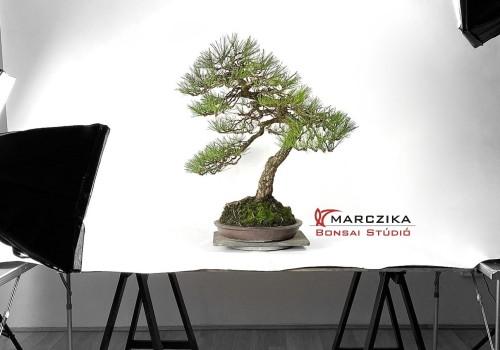 Kuromatsu bonsai bunjin stílusban - egy idős fenyő Japánból