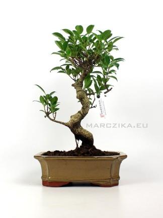 Beltéri bonsai - Ficus retusa mázas bonsai tálban 01.