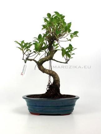 Beltéri bonsai - Ficus retusa mázas bonsai tálban 02.
