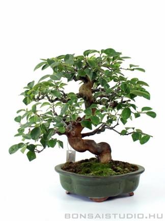 Pseudocydonia sinensis kifu méretű japán bonsai