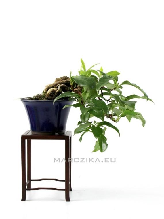 Kadsura japonica shohin bonsai