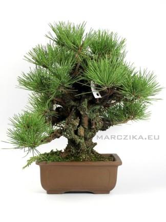 Pinus thunbergii 'Corticosa' bonsai 01.