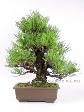 Pinus thunbergii 'Corticosa' bonsai 02.