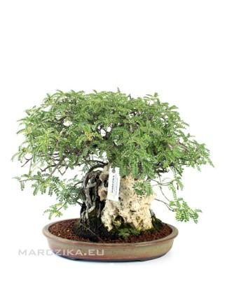 Osteomeles subrutunda bonsai 01.