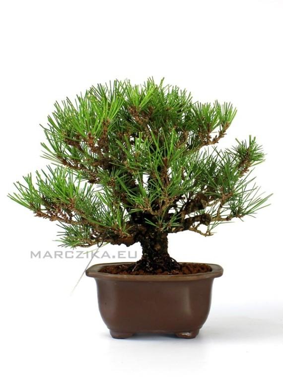 Pinus thunbergii 'Corticosa' bonsai 03.