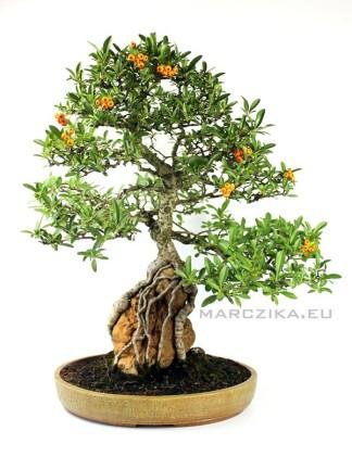 Tűztövis bonsai sekijoju stílusban