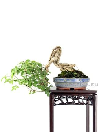 Akebia quinata japán shohin bonsai