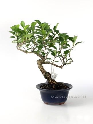 Celastrus orbiculatus shohin bonsai 04.