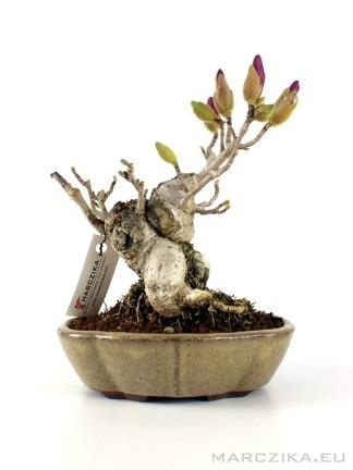 Magnolia stellata shohin bonsai Japánból