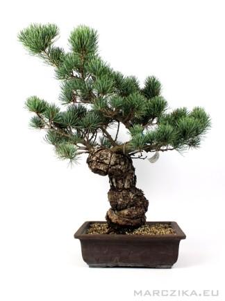Goyomatsu japán bonsai alapanyag - Pinus parviflora 01.