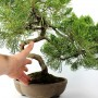 Juniperus chinensis sp. boróka bonsai előanyag 01.