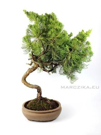 Juniperus chinensis sp. boróka bonsai előanyag 02.